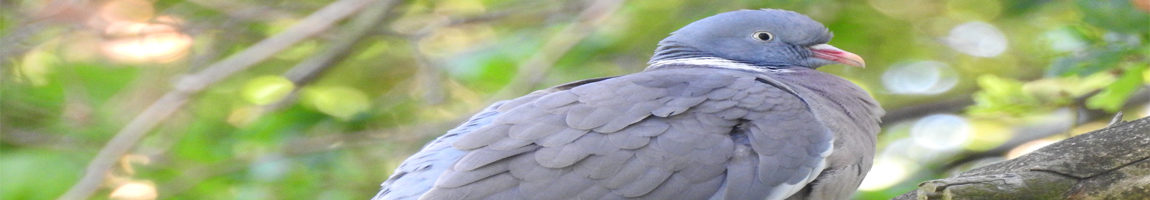 Bekæmpelse af duer