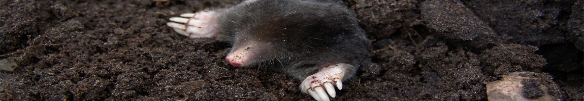 Bekæmpelse af muldvarpe