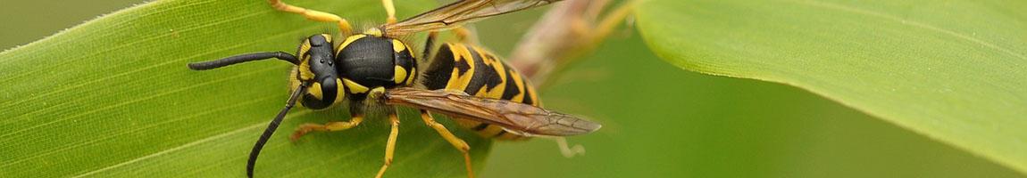 bekæmpelse af hvepse