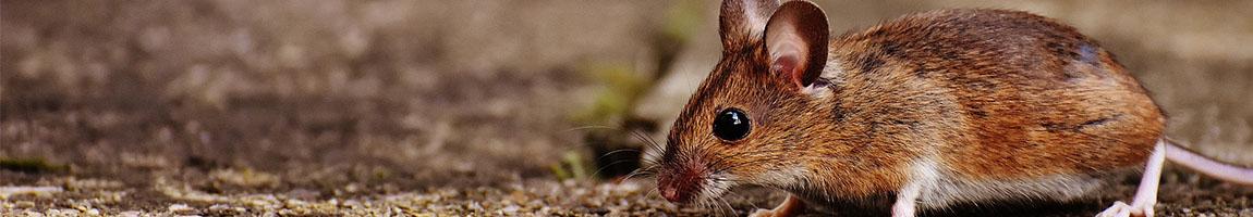 bekæmpelse af mus